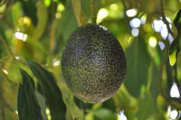 South African firm to market 'GEM' avocados