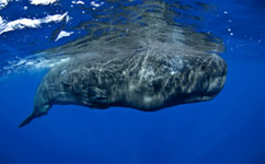 Study finds evidence of sperm whale culture