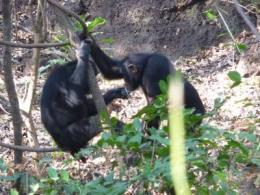 Study finds savanna chimps exhibit sharing behavior like humans
