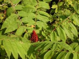 Super-tough seed coat keeps Michaux's sumac on critically endangered list