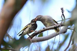 Sweet success: First recorded wild breeding from captive-bred Regent Honeyeater