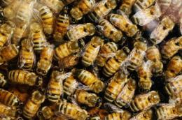 Team shows how the honey bee tolerates some synthetic pesticides