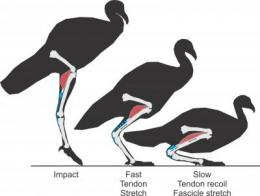 Tendons absorb shocks muscles won't handle