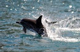 The 150 or so dolphins frolic in Port Phillip Bay and the Gippsland Lakes