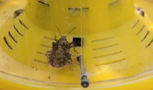 The brown marmorated stink bug, an invasive insect species from Asia, is seen in a trap on the Catoctin Mountain Orchard