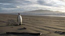 The Emperor penguin which arrived washed up in New Zealand, some 3,000 kilometres from his Antarctic home