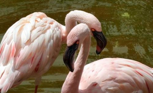 The lesser flamingo is the smallest and most numerous flamingo, with up to two million birds in Africa and southern Asia
