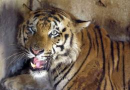 There are 1,510-1,550 wild tigers in India, according to a national tiger census
