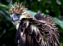 There are only a few hundred Philippine Eagles left in the world