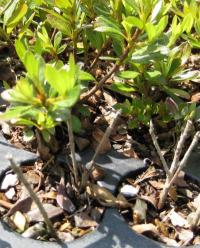 Thermotherapy rids azaleas of deadly fungal disease