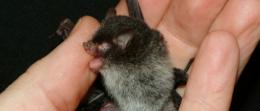 Three new bat species discovered in Indochina