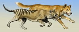 Thylacine hunting behavior: Case of crying wolf?