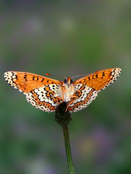 Traits, genes associated with establishment of new populations revealed in butterfly study