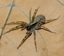 When food is scarce, hungry female spiders alter mating preferences