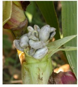 Viruses teach researchers how to protect corn from fungal infection