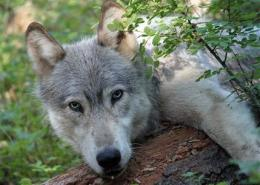 Wandering wolf inspires hope and dread (AP)