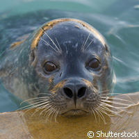 Waves and the perception power of seals