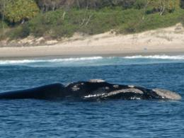 Whales show the 'right' stuff for recovery