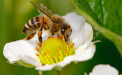 Wild pollinators contribute more than honeybees