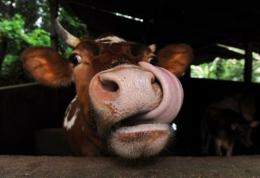 World farm monitors declared a cattle-killing virus that has been a curse through the ages had been wiped out