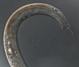 Worms can evolve to survive intersex populations
