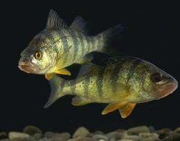 Yellow perch (Perca flavescens)