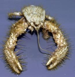 yeti crab
