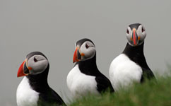 Young puffins work out their own migration routes