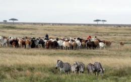 Zebras vs. cattle: Not so black-and-white