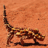 Meet a thorny devil through the Map of Life