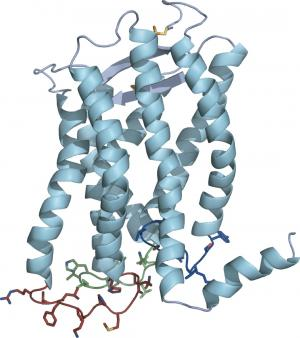 3D structure of an unmodified G protein-coupled receptor in its natural habitat