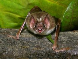An undated handout photo released by Nature magazine shows a vampire bat