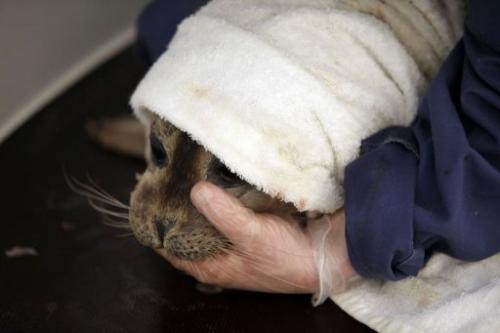A rescued seal is held while being feed by a volunteer at the Pieterburen Seal Rehabilitation and Research Centre
