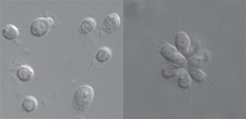 Did bacteria spark evolution of multicellular life?