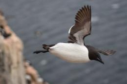 Diving seabirds: Working hard and living long