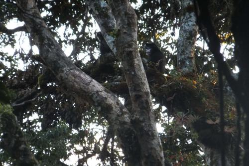 First photo evidence of snub-nosed monkey species in China