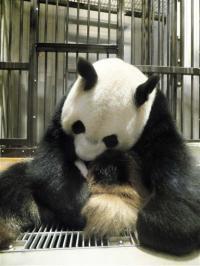 Giant panda born last week at Tokyo zoo dies