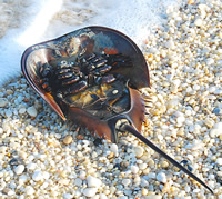 Horseshoe crabs are one of nature's great survivors
