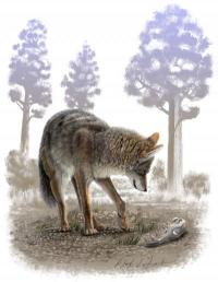 Ice Age coyotes were supersized, fossil study reveals