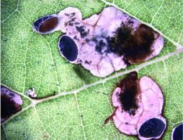 Italian vineyards invaded from North America by new species of leafminer