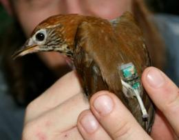 It's a bird, not a plane: Migrating songbirds depart on time