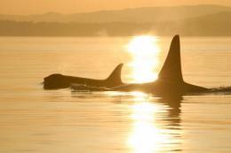 Long menopause allows killer whales to care for adult sons