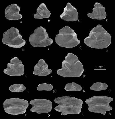 Middle Miocene Ochotonids found from Siziwang Qi, Nei Mongol