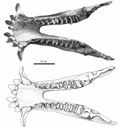 New material of mammal coryphodontid found from the erlian basin of nei mongol