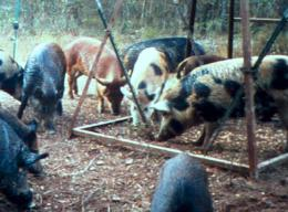 New publication explains how feral hogs negatively affect native plants