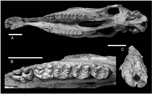 Skull of Hipparion found from the early Pleistocene of Longdan, Northwestern China