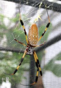 Spider silk conducts heat as well as metals, study finds