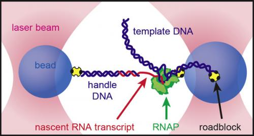 Stanford biologists watch RNA fold in real time
