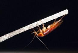 Stealth behavior allows cockroaches to seemingly vanish