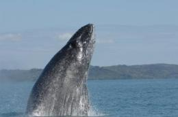 Study finds southern Indian Ocean humpbacks singing different tunes